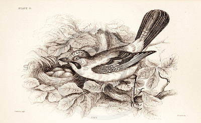 Vintage 1800s Sepia Illustration of Jay Bird from CAGE & CHAMBER BIRDS by J.M. Bechstein.  The natural patina, age-toning, imperfections, and old paper antiquing of this vintage 19th century illustration are preserved in this image.