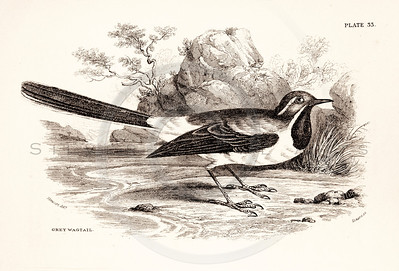 Vintage 1800s Sepia Illustration of Wagtail Bird from CAGE & CHAMBER BIRDS by J.M. Bechstein.  The natural patina, age-toning, imperfections, and old paper antiquing of this vintage 19th century illustration are preserved in this image.