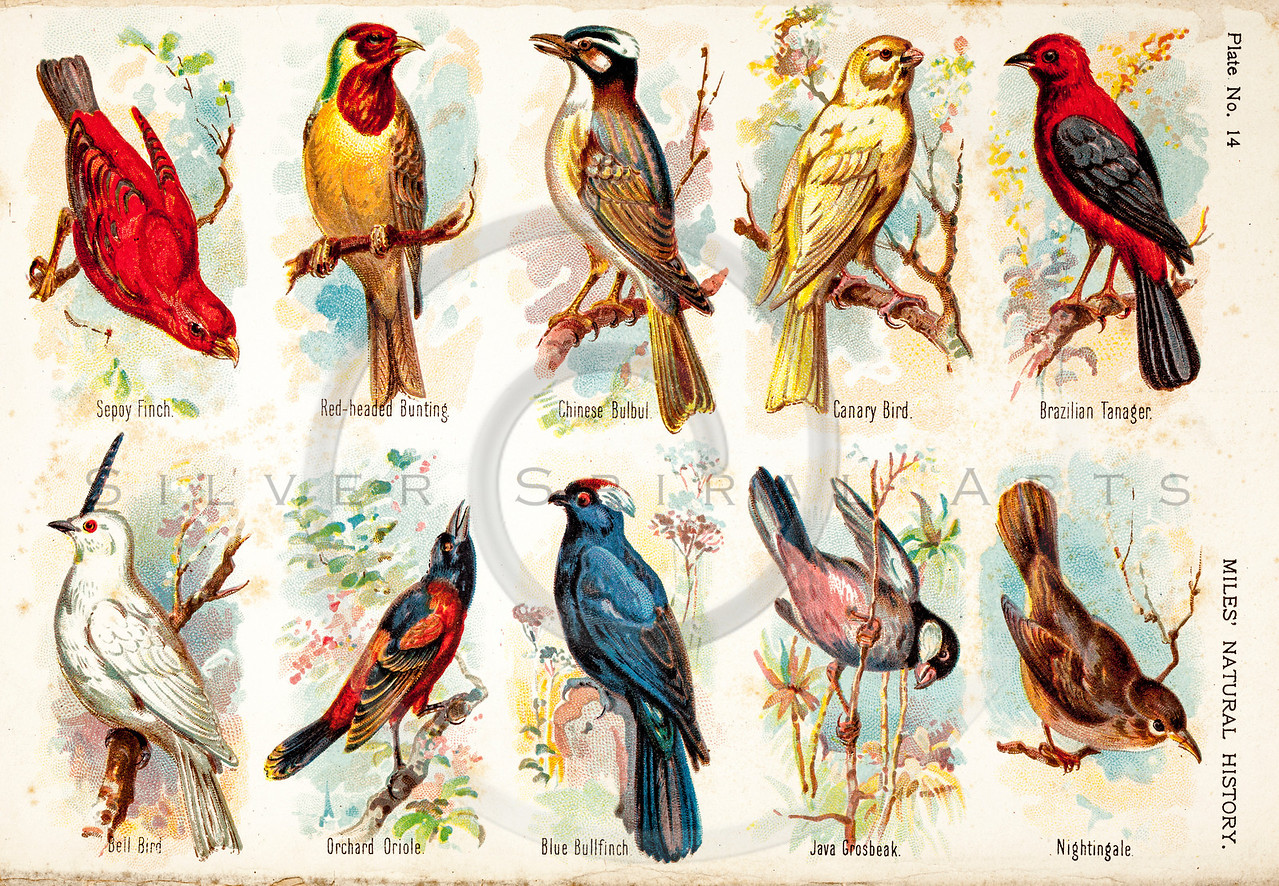 Vintage 1800s Color Illustration of Birds - FIVE HUNDRED FASCINATING ANIMAL STORIES by Alfred Miles.