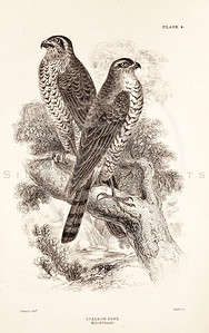 Vintage 1800s Sepia Illustration of Sparrow Hawk Birds from CAGE & CHAMBER BIRDS by J.M. Bechstein.  The natural patina, age-toning, imperfections, and old paper antiquing of this vintage 19th century illustration are preserved in this image.