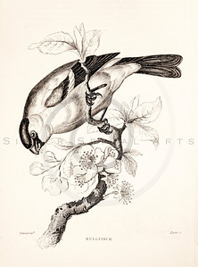 Vintage 1800s Sepia Illustration of Bull Finch Bird from CAGE & CHAMBER BIRDS by J.M. Bechstein.  The natural patina, age-toning, imperfections, and old paper antiquing of this vintage 19th century illustration are preserved in this image.