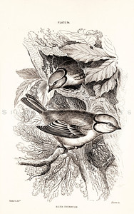 Vintage 1800s Sepia Illustration of Titmouse Birds from CAGE & CHAMBER BIRDS by J.M. Bechstein.  The natural patina, age-toning, imperfections, and old paper antiquing of this vintage 19th century illustration are preserved in this image.
