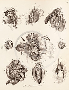 Vintage 1800s Black and White Illustration of Seashells from BOOK OF SHELLS by Friedrich Berge.  The natural patina, age-toning, imperfections, and old paper antiquing of this vintage 19th century illustration are preserved in this image.