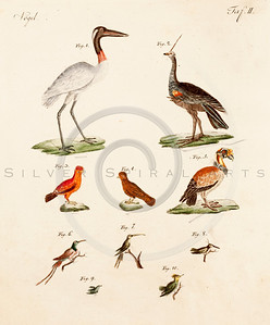 Vintage 1700s Color Bird Illustration from BILDERBUCH by F.J. Be