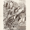 Vintage 1800s Sepia Illustration of Heron Birds from ANIMATED CREATION by Rev. Wood.  The natural patina, age-toning, imperfections, and old paper antiquing of this vintage 19th century illustration are preserved in this image.
