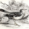 Vintage 1800s Color Illustration of a Water-Chat Bird - THE NATURALIST'S LIBRARY by William Jardine.  The natural patina, age-toning, imperfections, and old paper antiquing of this vintage 19th century illustration are preserved in this image.