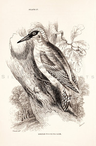 Vintage 1800s Sepia Illustration of Green Wood Pecker Bird from CAGE & CHAMBER BIRDS by J.M. Bechstein.  The natural patina, age-toning, imperfections, and old paper antiquing of this vintage 19th century illustration are preserved in this image.