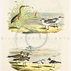 "Vintage 1800s Color Illustration of ""THE BIRDS OF NORTH AMERICA"" by Theodore Jasper."