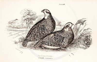 Vintage 1800s Sepia Illustration of Patridge Birds from CAGE & CHAMBER BIRDS by J.M. Bechstein.  The natural patina, age-toning, imperfections, and old paper antiquing of this vintage 19th century illustration are preserved in this image.