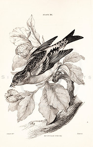 Vintage 1800s Sepia Illustration of Mountain Finch Bird from CAGE & CHAMBER BIRDS by J.M. Bechstein.  The natural patina, age-toning, imperfections, and old paper antiquing of this vintage 19th century illustration are preserved in this image.