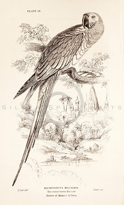 Vintage 1800s Sepia Illustration of Macaw Bird from CAGE & CHAMBER BIRDS by J.M. Bechstein.  The natural patina, age-toning, imperfections, and old paper antiquing of this vintage 19th century illustration are preserved in this image.