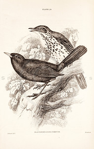 Vintage 1800s Sepia Illustration of Blackbird and Song Thrush Birds from CAGE & CHAMBER BIRDS by J.M. Bechstein.  The natural patina, age-toning, imperfections, and old paper antiquing of this vintage 19th century illustration are preserved in this image.
