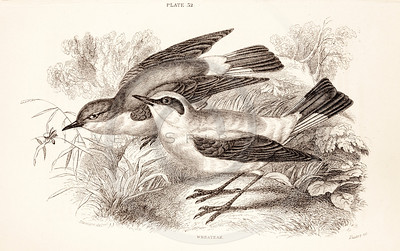 Vintage 1800s Sepia Illustration of Wheatear Birds from CAGE & CHAMBER BIRDS by J.M. Bechstein.  The natural patina, age-toning, imperfections, and old paper antiquing of this vintage 19th century illustration are preserved in this image.