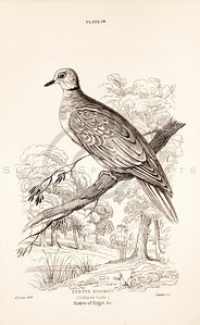 Vintage 1800s Sepia Illustration of Bird from CAGE & CHAMBER BIRDS by J.M. Bechstein.  The natural patina, age-toning, imperfections, and old paper antiquing of this vintage 19th century illustration are preserved in this image.