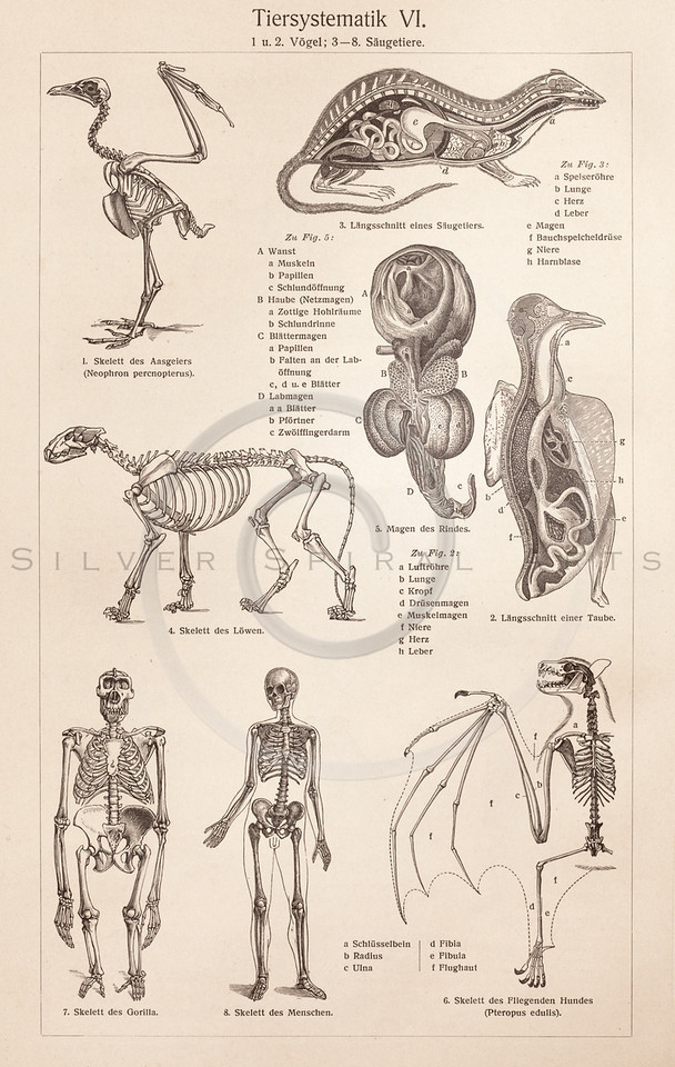 royalty free stock vintage illustrations photo keywords: anatomy, Skeleton