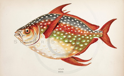 Vintage 1800s Hand-Colored Copper Engraving Illustration of Opah fish from A HISTORY OF FISHES OF THE BRITISH ISLANDS by J. Couch in London.  The natural patina, age-toning, imperfections, and old paper antiquing of this vintage 19th century illustration are preserved in this image.