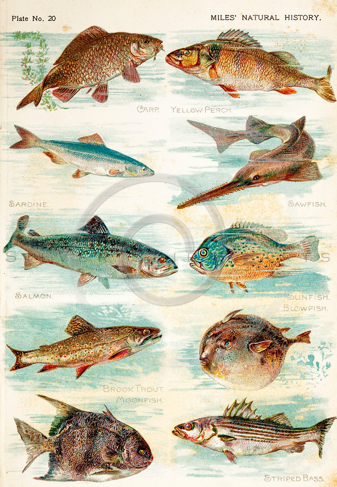 Vintage 1800s Color Illustration of Fish - FIVE HUNDRED FASCINATING ANIMAL STORIES by Alfred Miles.
