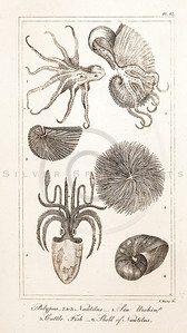 Vintage Illustration of Cuttlefish, Sea Urchin, Polyp, and Shells from the American Edition of the British Encyclopedia, 1817.  Antique digital download of old print - sea urchin, urchin, fish, cuttlefish, polyp, shell, aquatic, marine, encyclopedia, encyclopedic.  The natural age-toning, paper stains, and antique printing imperfections are preserved in this 1800s stock image.