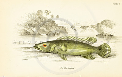 Jardine's Fish Vintage Color Illustration