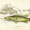 Jardine's Fish Vintage Color Illustration