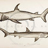 Vintage 1800s Hand-Colored Copper Engraving Illustration of Sharks from A HISTORY OF FISHES OF THE BRITISH ISLANDS by J. Couch in London.  The natural patina, age-toning, imperfections, and old paper antiquing of this vintage 19th century illustration are preserved in this image.