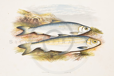 1800s Vintage Color Illustration chromolithograph of fish from BRITISH FRESH WATER FISHES by William Houghton in London, England in 1879