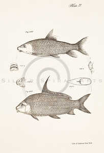 Vintage Black and White Illustration of 1800s fish lithograph from James de Kay ZOOLOGY OF NEW YORK (1842)