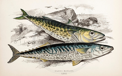 Vintage 1800s Hand-Colored Copper Engraving Illustration of Spanish Mackarel fish from A HISTORY OF FISHES OF THE BRITISH ISLANDS by J. Couch in London.  The natural patina, age-toning, imperfections, and old paper antiquing of this vintage 19th century illustration are preserved in this image.