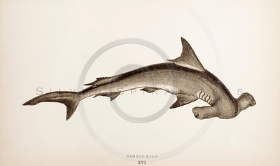 Vintage 1800s Hand-Colored Copper Engraving Illustration of Hammer-Head Shark from A HISTORY OF FISHES OF THE BRITISH ISLANDS by J. Couch in London.  The natural patina, age-toning, imperfections, and old paper antiquing of this vintage 19th century illustration are preserved in this image.