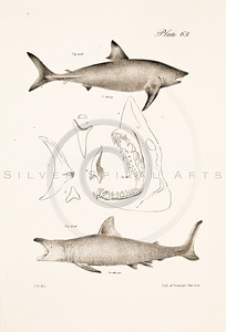 Vintage Black and White Illustration of 1800s shark illustration -  lithograph from James de Kay ZOOLOGY OF NEW YORK (1842)