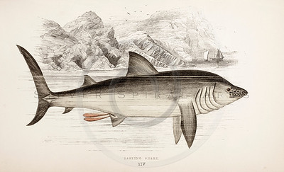 Basking Shark Illustration
