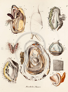 Vintage 1800s Color Illustration of Seashells from BOOK OF SHELLS by Friedrich Berge.  The natural patina, age-toning, imperfections, and old paper antiquing of this vintage 19th century illustration are preserved in this image.
