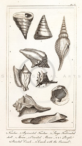 Vintage Illustration of Seashells from the American Edition of the British Encyclopedia, 1817.  Antique digital download of old print - shell, seashell, conch, rock, nature, encyclopedia, encyclopedic.  The natural age-toning, paper stains, and antique printing imperfections are preserved in this 1800s stock image.