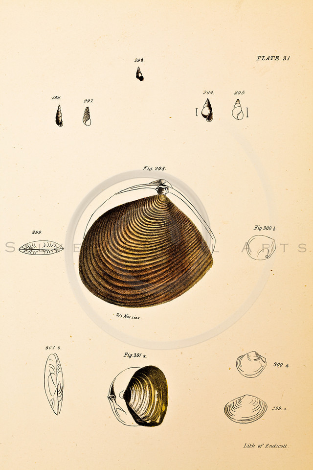 "Vintage Color Illustration of Hand Colored Seashells by DeKay from the mid 1800's from ""The Zoology of New York"""