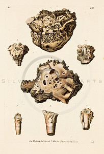 "Vintage Color Illustration of ""COLLECTION OF MANY WELL KNOWN HORNS & SHELLS"", (""VERZAMELLING"") by Knorr (1755)"