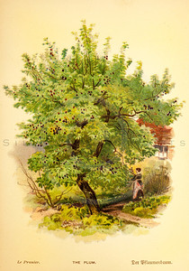 Vintage 1800s Color Illustration of a Plum Tree - FAMILIAR TREES.