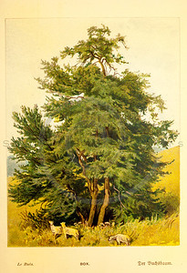 Vintage 1800s Color Illustration of a Box Tree - FAMILIAR TREES.