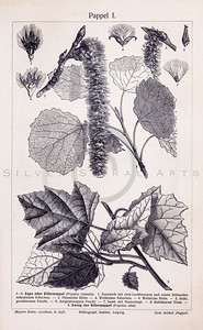 Vintage illustration of Poplar Leaves from Meyers Konversations Lexikon 1913 Encyclopedia.  Antique digital download of old print - poplar; plant; plants; botany; nature; botanical; leaves; stems; stem.  The natural age-toning, paper stains, and antique printing imperfections are preserved in this 1900s stock image.