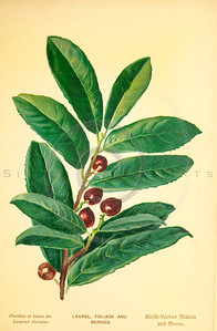 Vintage 1800s Color Illustration of Laurel Foliage and Berries - FAMILIAR TREES.