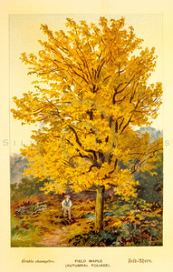 Vintage 1800s Color Illustration of a Maple Tree - FAMILIAR TREES.
