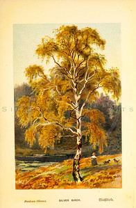 Vintage 1800s Color Illustration of Silver Birch Tree - FAMILIAR TREES.
