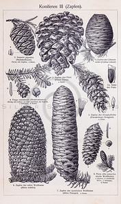 Vintage illustration of Pinecones from Meyers Konversations Lexikon 1913 Encyclopedia.  Antique digital download of old print - plant; plants; botany; nature; botanical; pine; pinecone; pincones; cones; cone; conifer.  The natural age-toning, paper stains, and antique printing imperfections are preserved in this 1900s stock image.