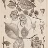 Vintage Elm Leaves Illustration - 1800s Leaf Images.