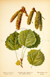 Vintage 1800s Color Illustration of Catkins and Aspen Poplar Leaves - FAMILIAR TREES.