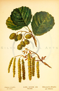 Vintage 1800s Color Illustration of Catkins and Alder Foliage - FAMILIAR TREES.