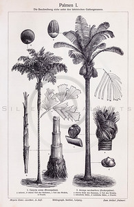 Vintage illustration of Palm Trees from Meyers Konversations Lexikon 1913 Encyclopedia.  Antique digital download of old print - plant; plants; botany; nature; botanical; palm; trees; tree; tropical; coconut.  The natural age-toning, paper stains, and antique printing imperfections are preserved in this 1900s stock image.