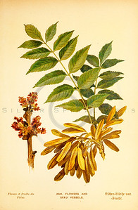 Vintage 1800s Color Illustration of Ash Flowers and Seed Vessels - FAMILIAR TREES.