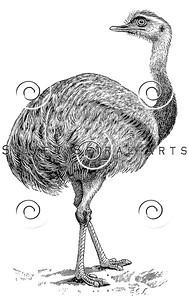 Vintage Rhea Bird Illustration - 1800s Birds Images.