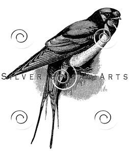 Vintage Swallow Bird Illustration - 1800s Birds Images.