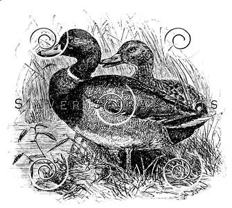Vintage Wild Ducks Illustration - 1800s Duck Images.